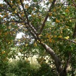 Дикие абрикосы на Иссык-Куле